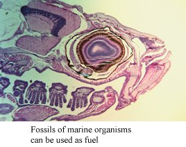 photo of fossils of marine organisms which can be used for fuel